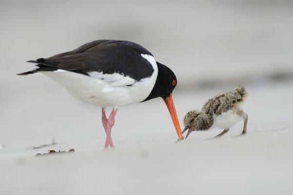 Austernfischer füttert seinen Jungvogel