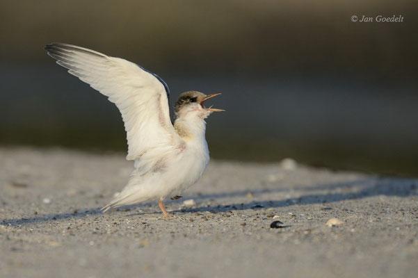 Nach Futter bettelnde, flügge Zwergseeschwalbe