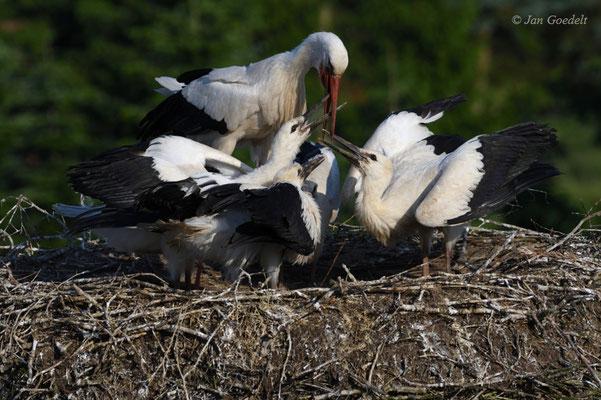 Weißstorch füttert seine vier bettelnden Jungvögel