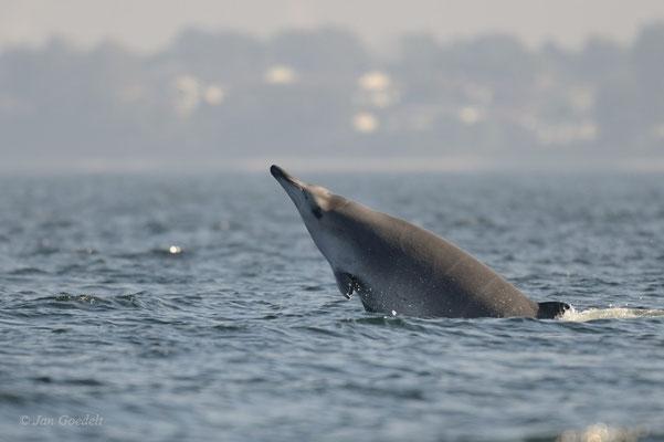 Sowerby-Zweizahnwal springt als sehr seltener Gast in der Ostsee