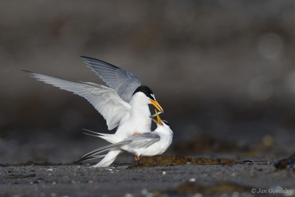 Zwergseeschwalbe