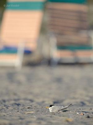 Zwergseeschwalbe brütet auf einem Badestrand