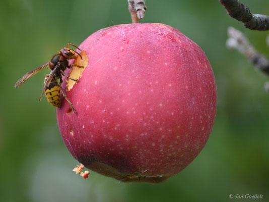 Hornisse frisst an Apfel