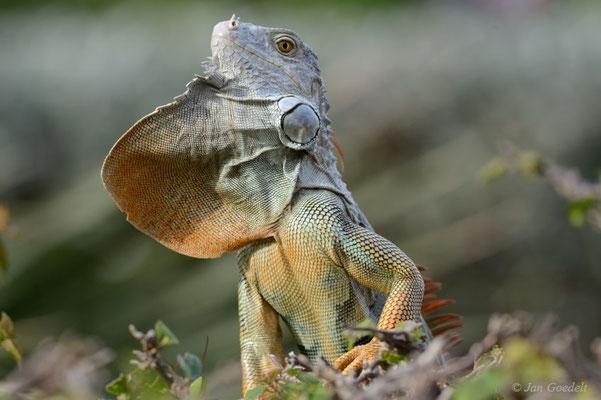 Grüner Leguan balzt und zeigt seinen Kehllatz, Florida