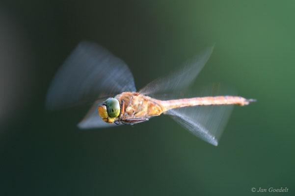 Keilfleck-Mosaikjungfer im Flug
