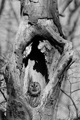 Waldkauz sitzt in seinem Tageseinstand