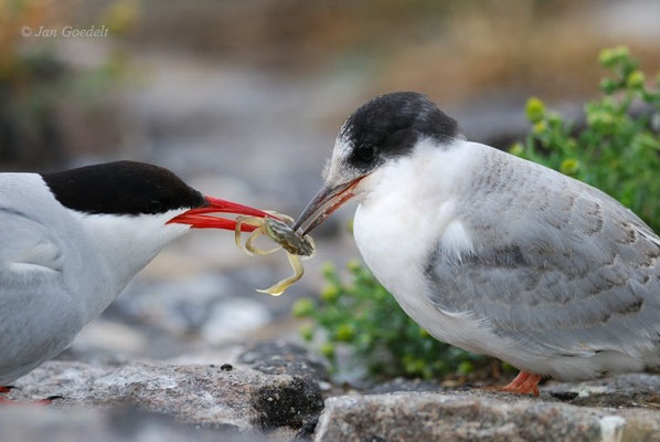 Küstenseeschwalbe füttert ihren Jungvogel