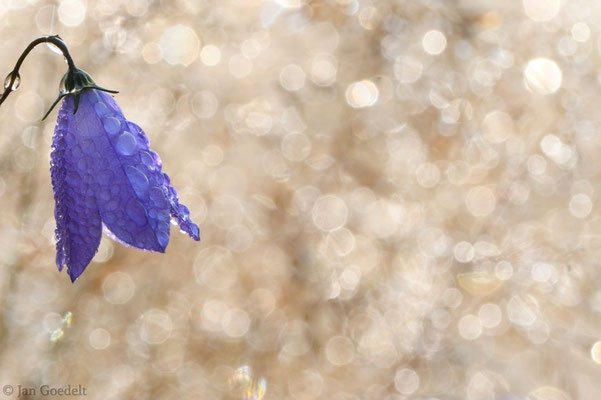 Glockenblume im morgendlichen Gegenlicht