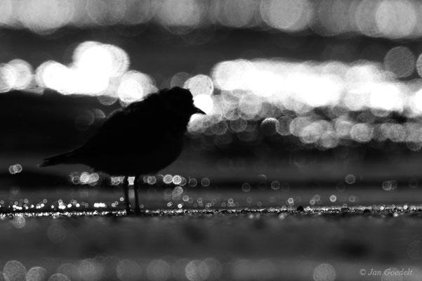 Sandregenpfeifer im Gegenlicht (schwarz-weiß)