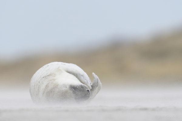 Junge Kegelrobbe schläft im Sandsturm