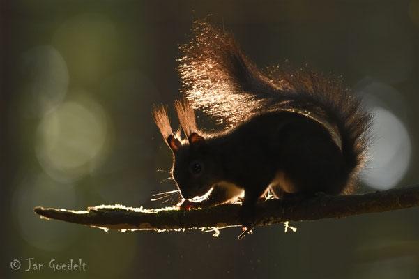 """Eichhörnchen im Gegenlicht (mehr Bilder unter """"Themenfotos"""")"""