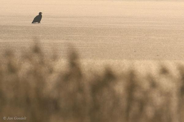 Seeadler sitzt auf einem gefrorenen Gewässer