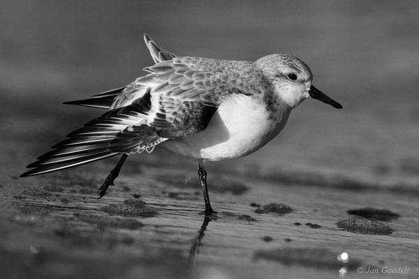 Sanderling flügelt sich