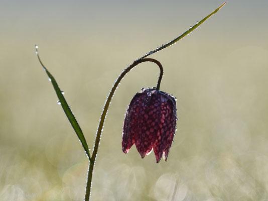 Schachbrettblume im Gegenlicht