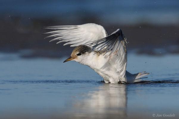 Flügge Zwergseeschwalbe startet nach dem Baden