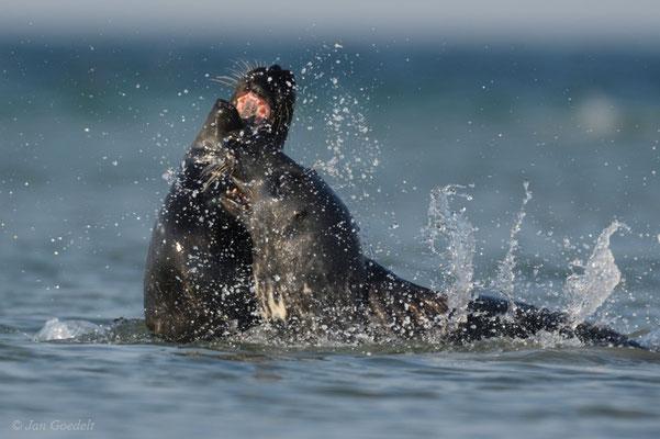 Kegelrobbe balgen sich in der Nordsee