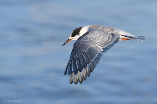 Flussseeschwalbe im Flug