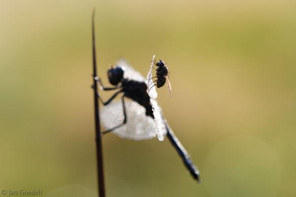 Gemeinsames Sonnen von Schwarzer Heidelibelle und Fliege