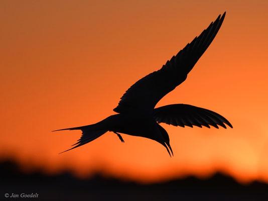Küstenseeschwalbe im Sonnenuntergang