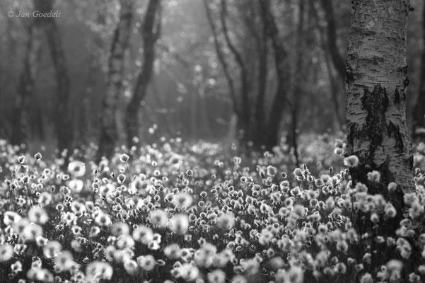 Morgenstimmung im Moor mit Wollgras
