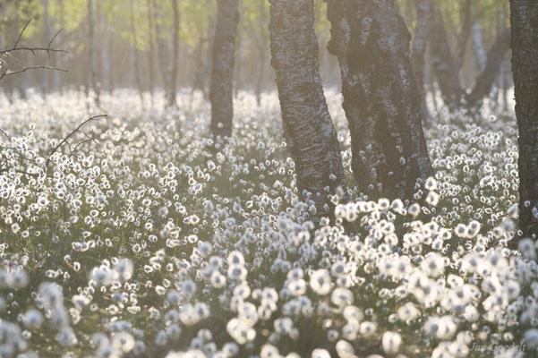 Morgenstimmung im Moor mit Wollgras, Schleswig-Holstein