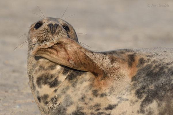 Kegelrobben-Weibchen kratzt sich am Kinn
