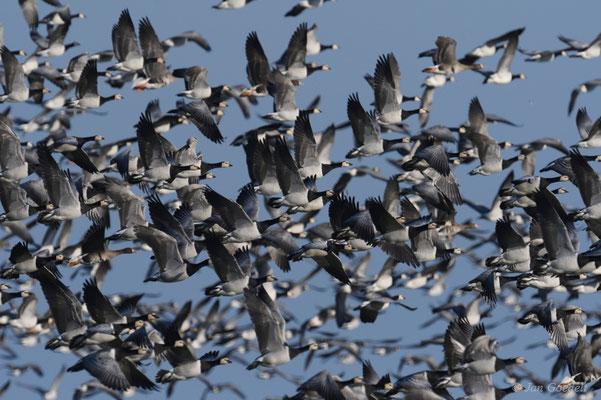 Auffliegender Truppe Weißwangengänse