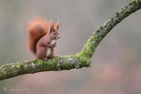 Eichhörnchen auf seinem Lieblingsast