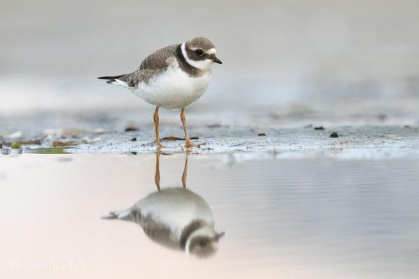 Sandregenpfeifer spiegelt sich