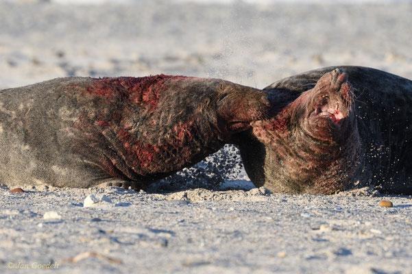 Kegelrobbenbullen beißen sich während einer Auseinandersetzung