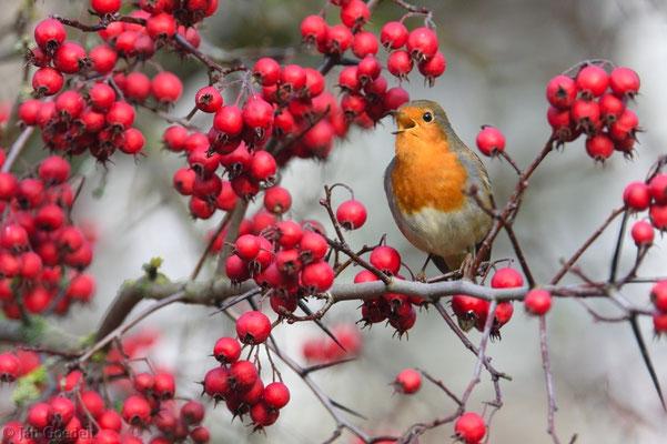 Singendes Rotkehlchen im Beerenbaum im Herbst