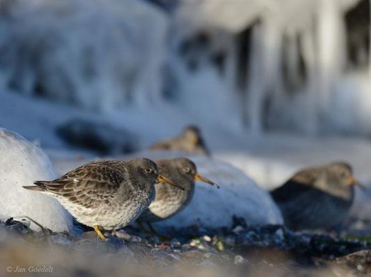 Meerstrandläufer vor winterlicher Kulisse