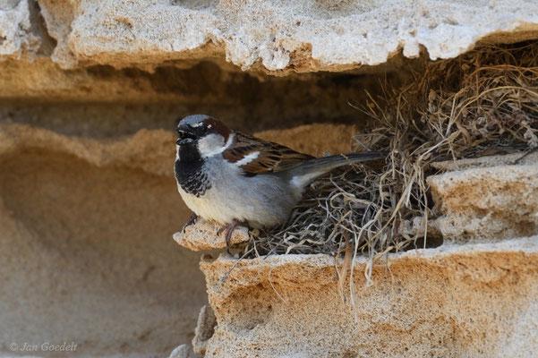 Haussperling am Nest in einem alten Gemäuer