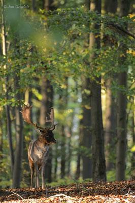 Damhirsch im herbstlichen Wald
