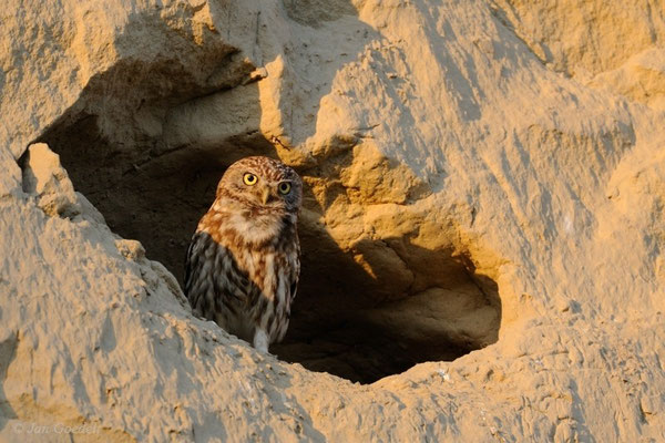 Steinkauz vor seiner Höhle