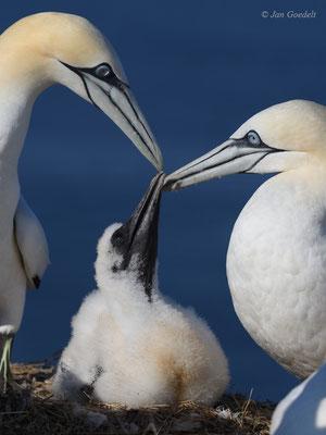 Beide Elterntiere des Basstölpels sind bei dem einzigen Jungvogel