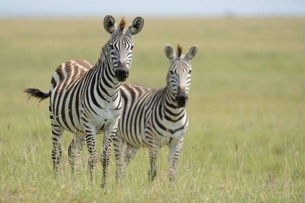 Steppenzebra schauen aufmerksam nach Beutegreifern, Masai Mara (Kenia)
