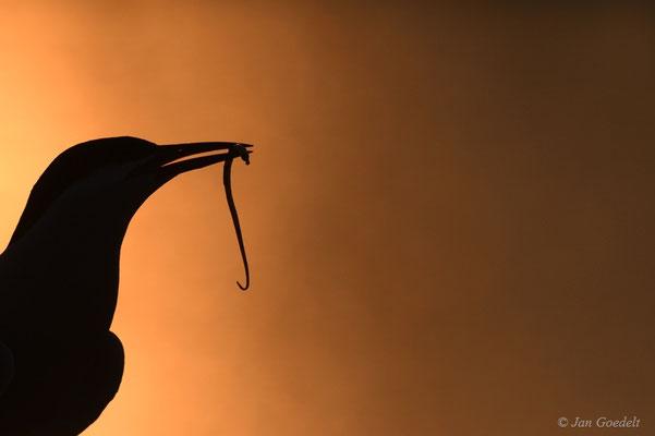 Küstenseeschwalbe mit Seenadel vor Abendhimmel