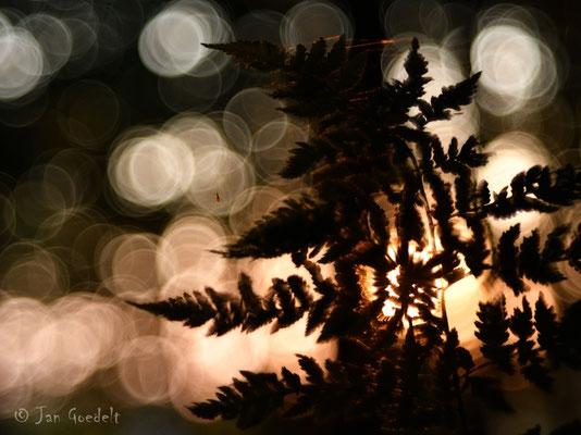 Farnblatt im Licht der untergehenden Sonne