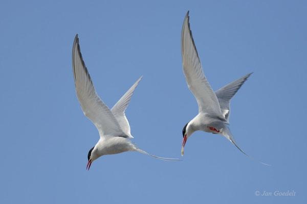 Küstenseeschwalben im Paarflug