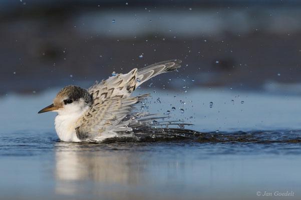 Flügge Zwergseeschwalbe badet