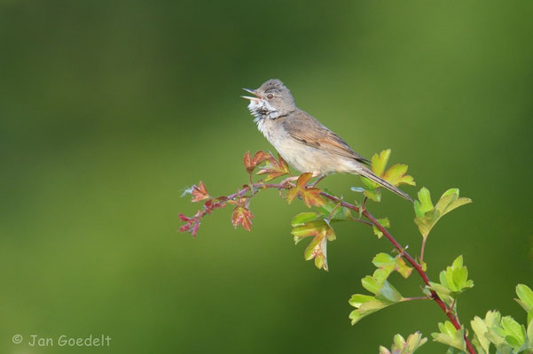 Singende Dorngrasmücke