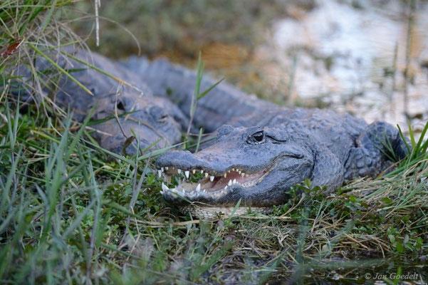 Zwei Alligatoren sonnen sich, Florida