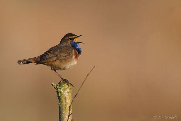 Singendes Blaukehlchen