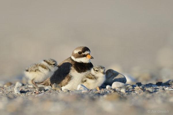 """Sandregenpfeifer mit zwei Jungvögeln (mehr Bilder unter """"Themenfotos"""")"""