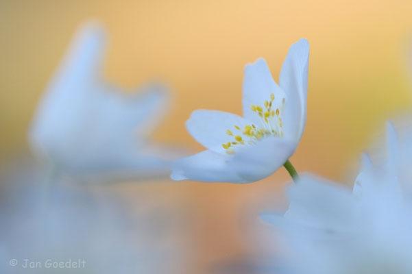 Blüte des Buschwindröschens