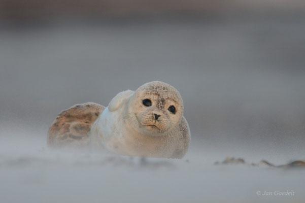 Junger Seehund ruht am Strand