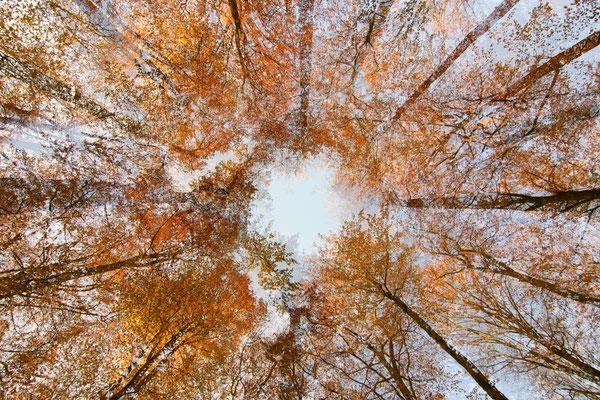 Blick in die Wipfel eines Buchenwaldes (Mehrfachbelichtung)