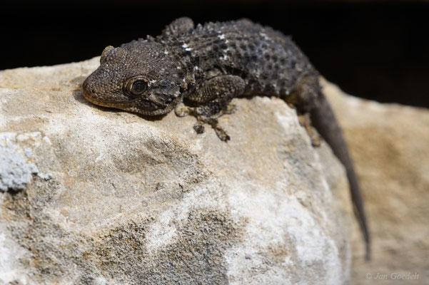 Mauergecko ruht in einer Felsspalte