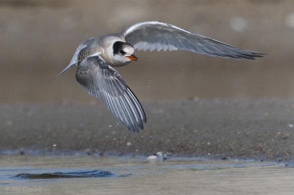 Junge Küstenseeschwalbe im Abflug nach dem Baden